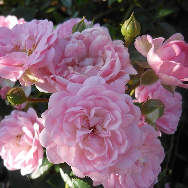 The Fairy Pink Ground Cover Rose No Fragrance Online Rose